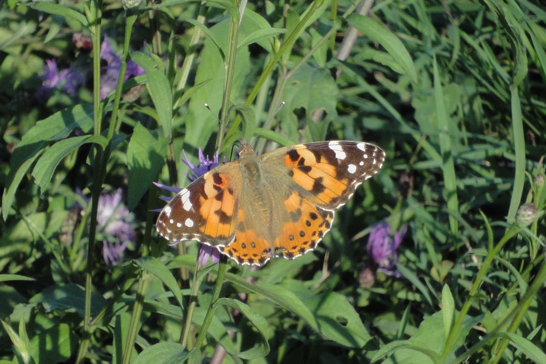Painted Lady, Cynthia Cardui