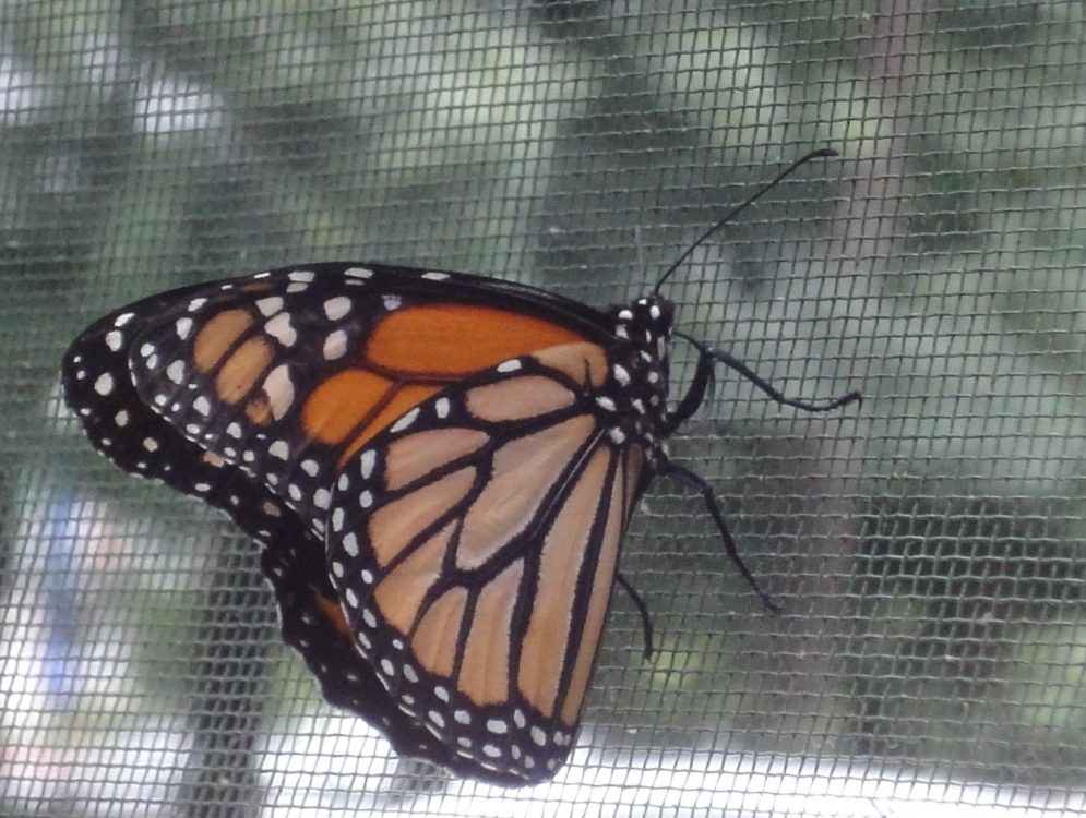 Fluturele Monarh, Monarch