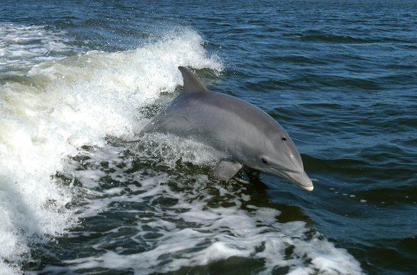 Common Bottlenose Dolphin, Bottle-nosed Dolphin, Bottlenosed Dolphin, Bottlenose Dolphin