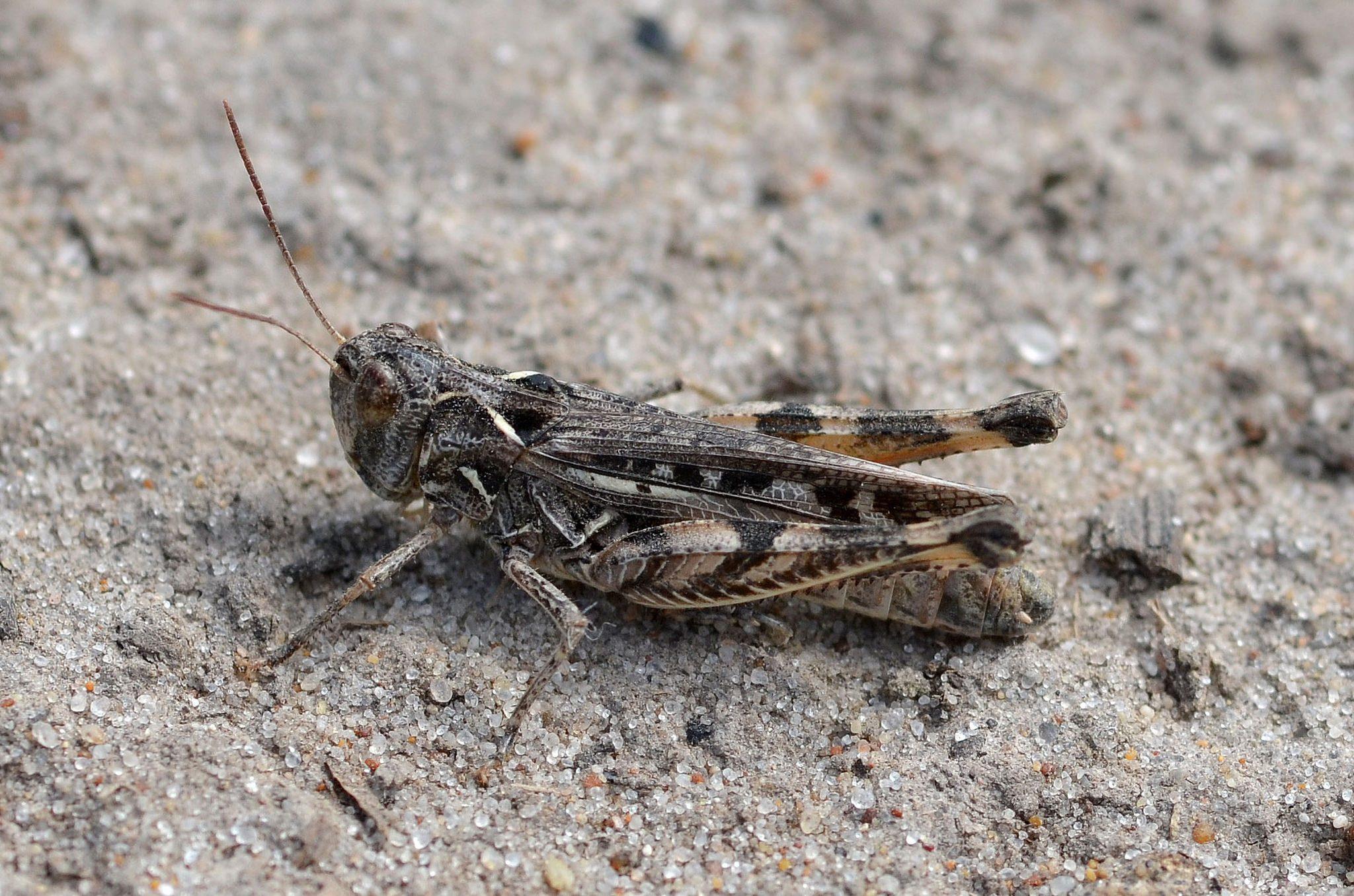 Intermediate Cross-backed Grasshopper