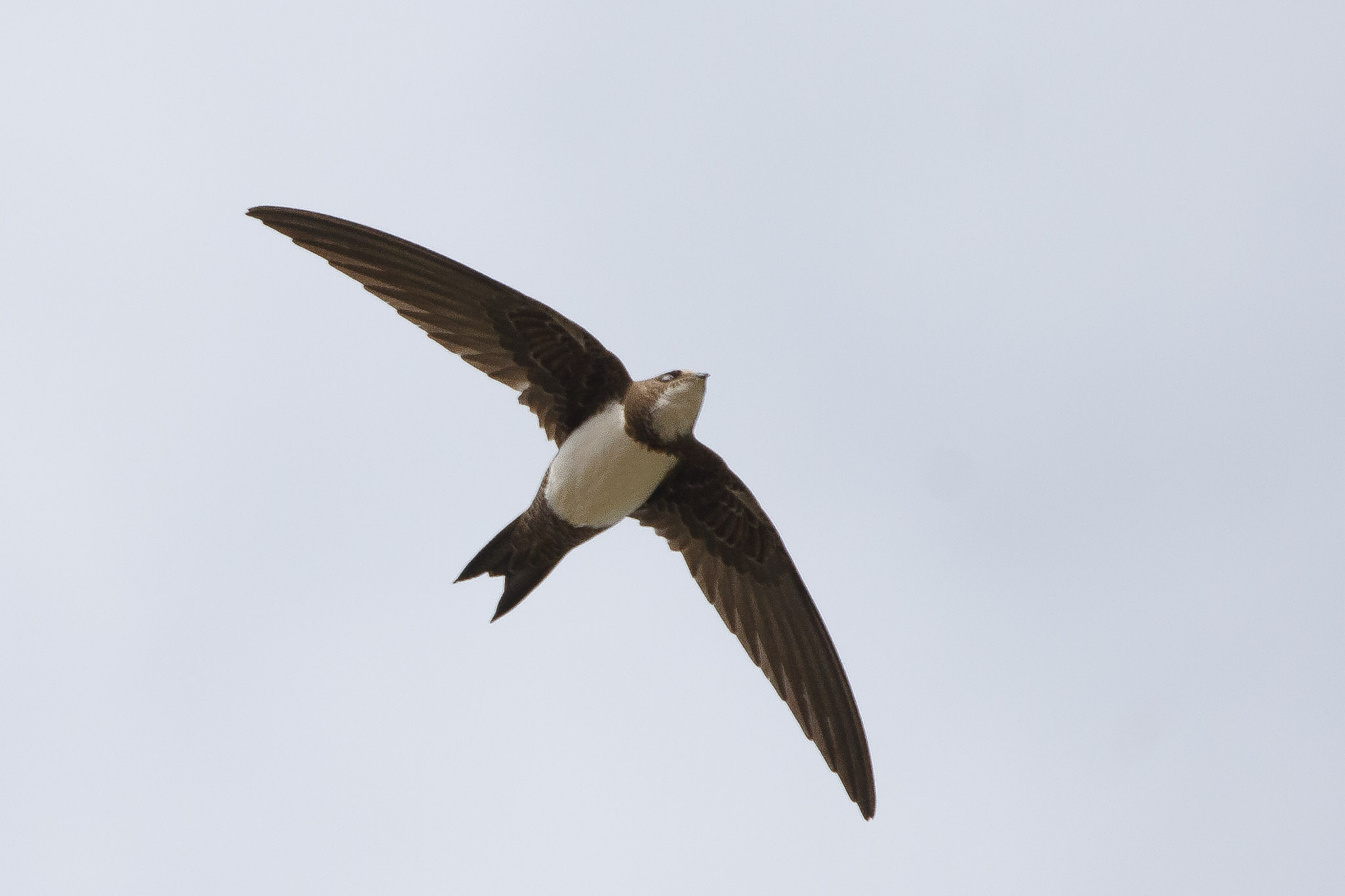 Tachymarptis melba, Alpine Swift