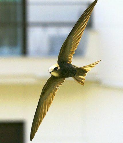 Apus pallidus, Pallid Swift
