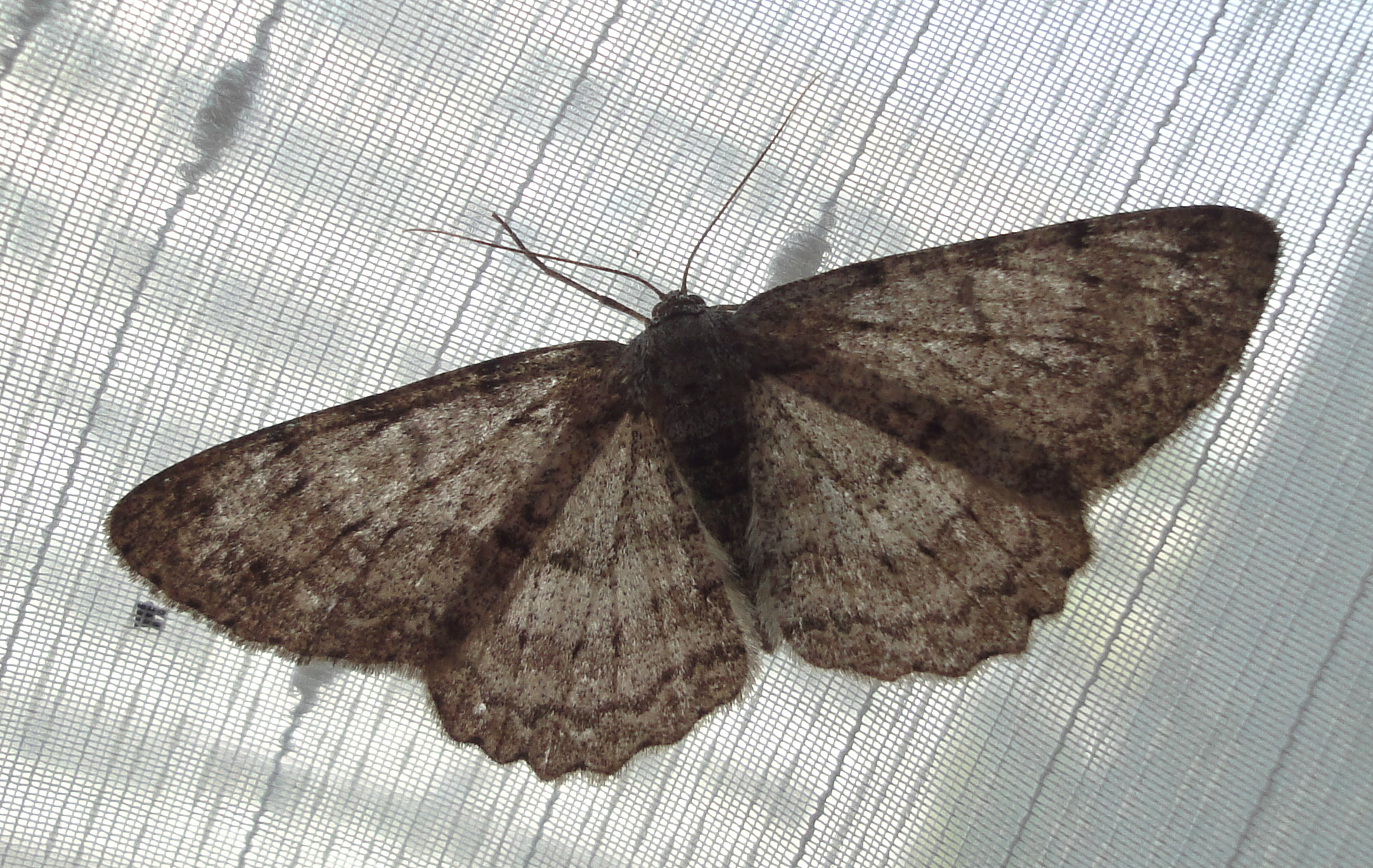 The Engrailed