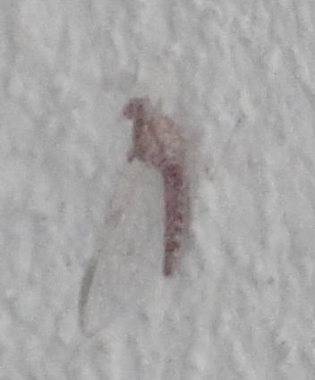 Efemeropteră