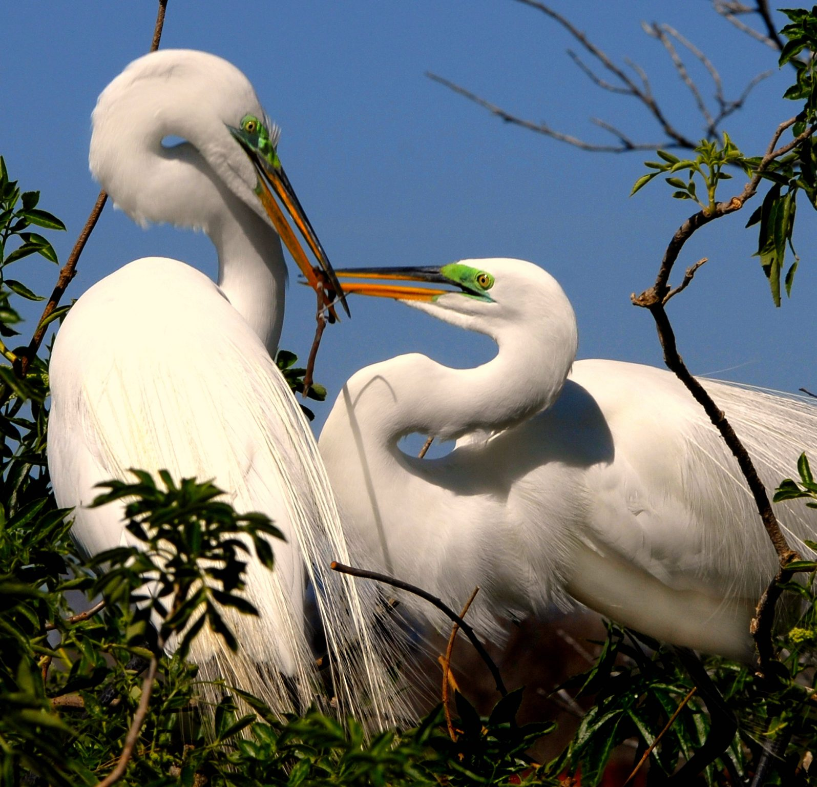 Ardea alba, Great White Egret, Western Great Egret, Great White Heron
