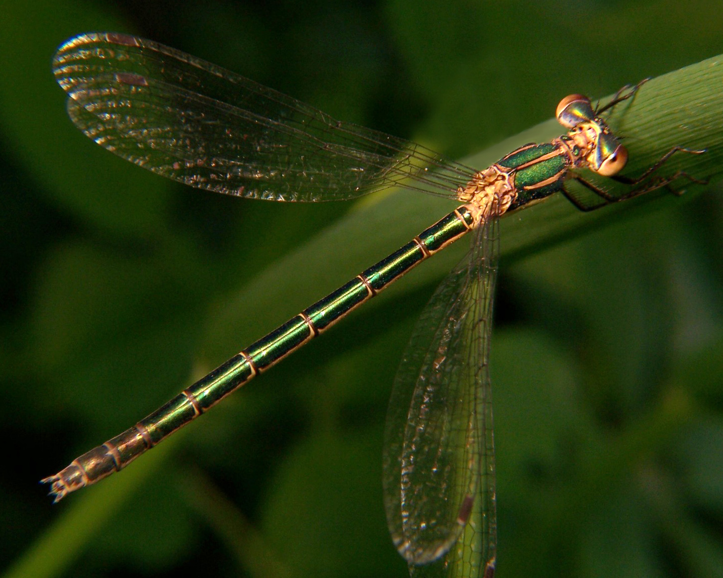 Emerald Spreadwing, Robust Spreadwing, Scarce Emerald Damselfly