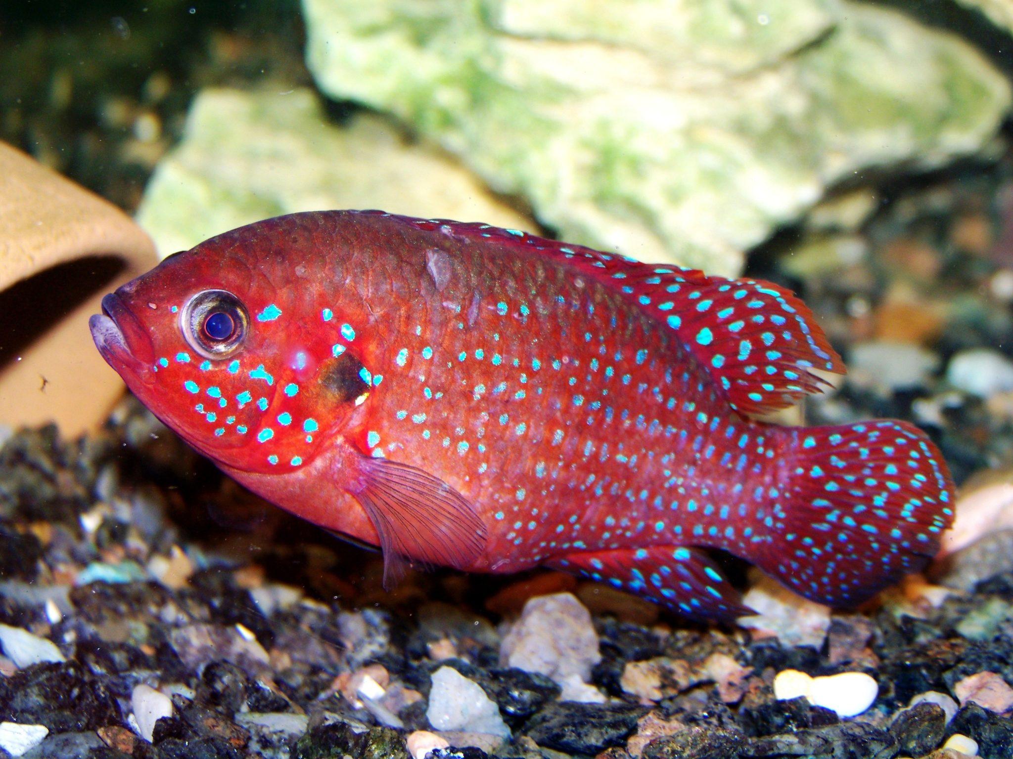 Jewel Cichlid, Jewelfish