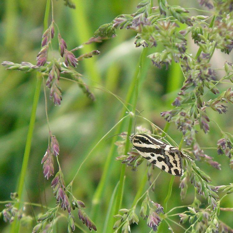 Spotted Sulphur, fluture gălbui cu pete negre