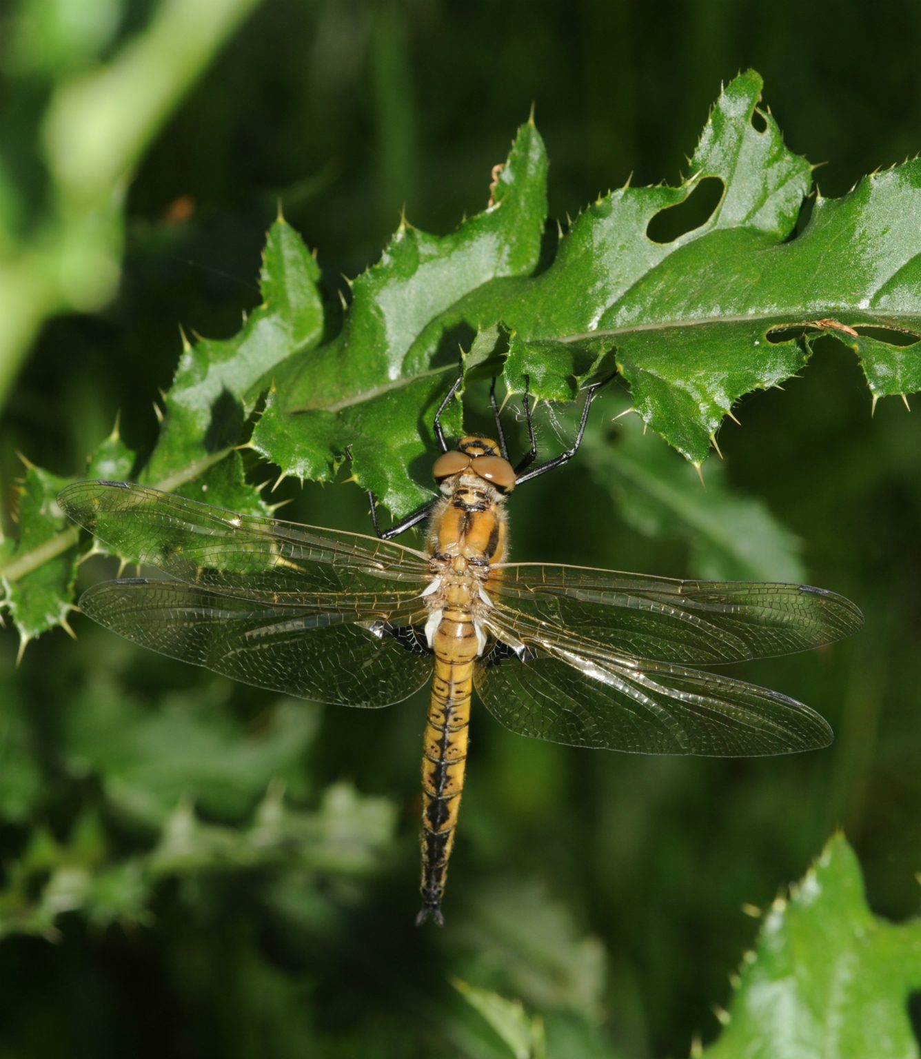 Eurasian Baskettail