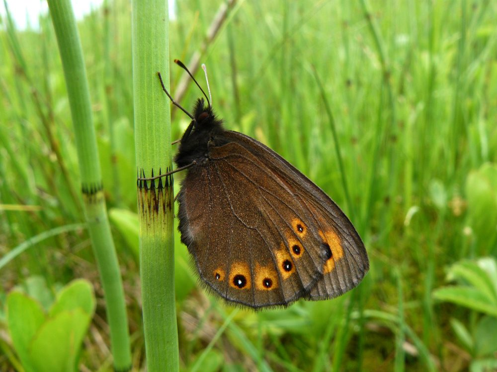 Woodland Ringlet lateral