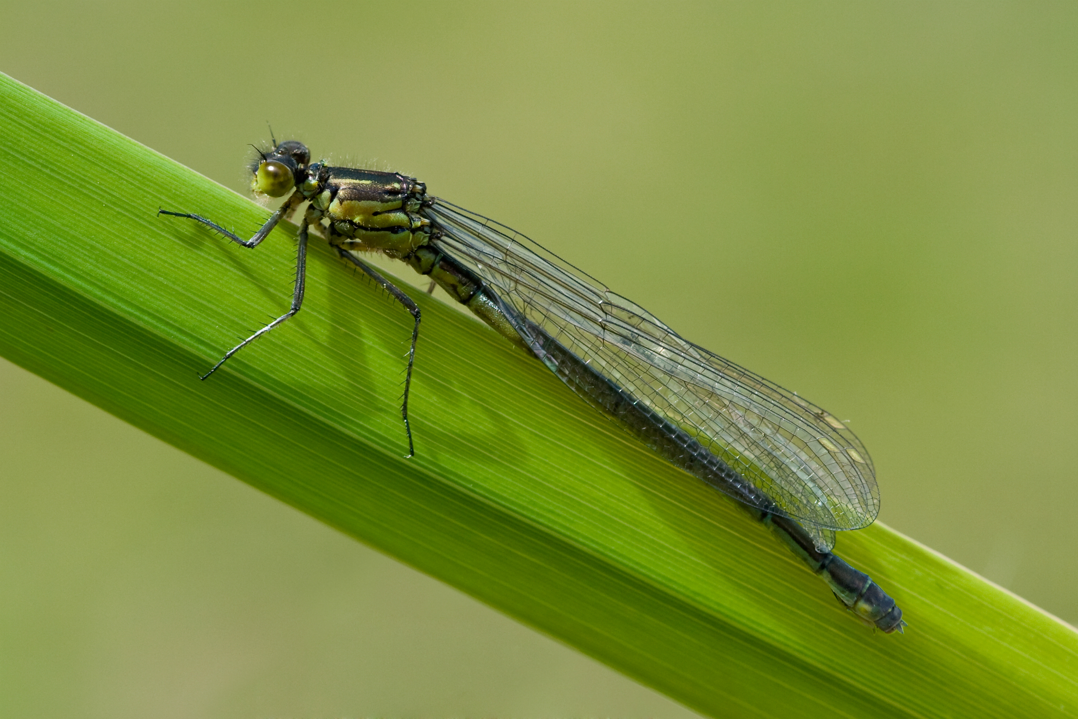 Red-eyed Damselfly femelă
