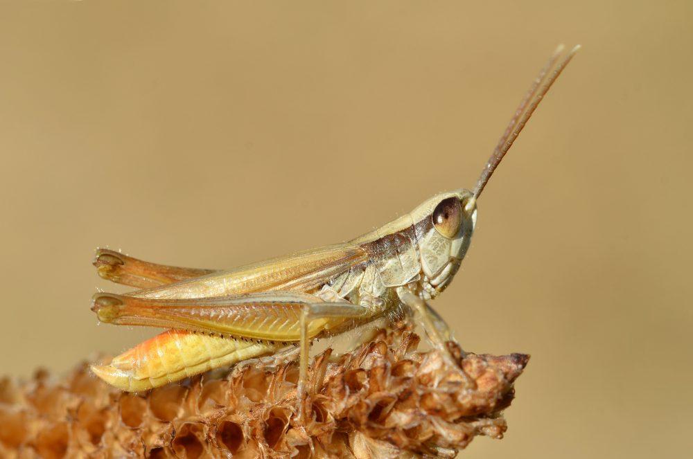 Eastern Straw Grasshopper mascul