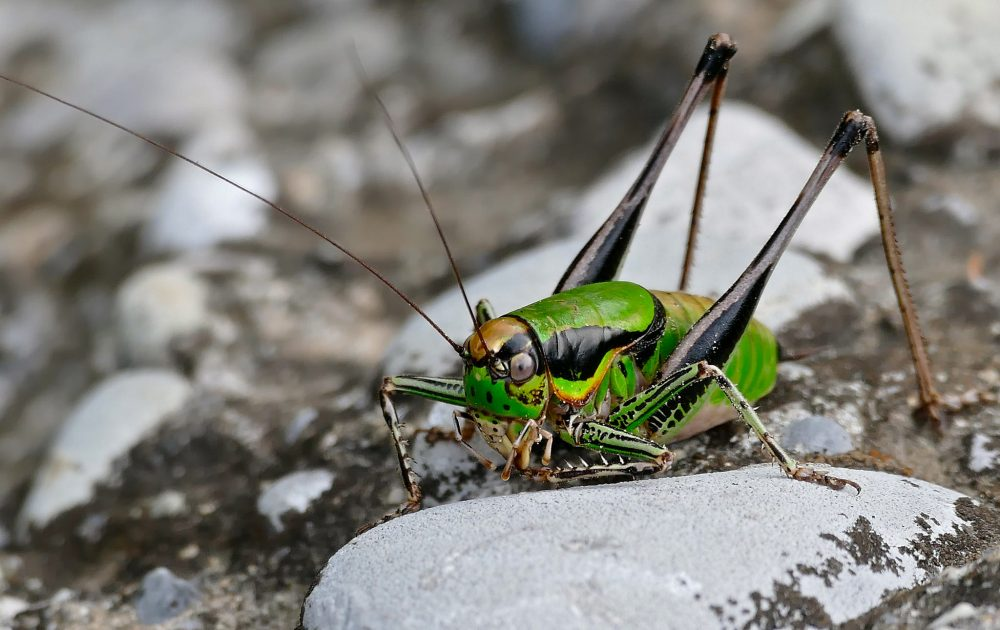 Chabrier's Marbled Bush-cricket mascul