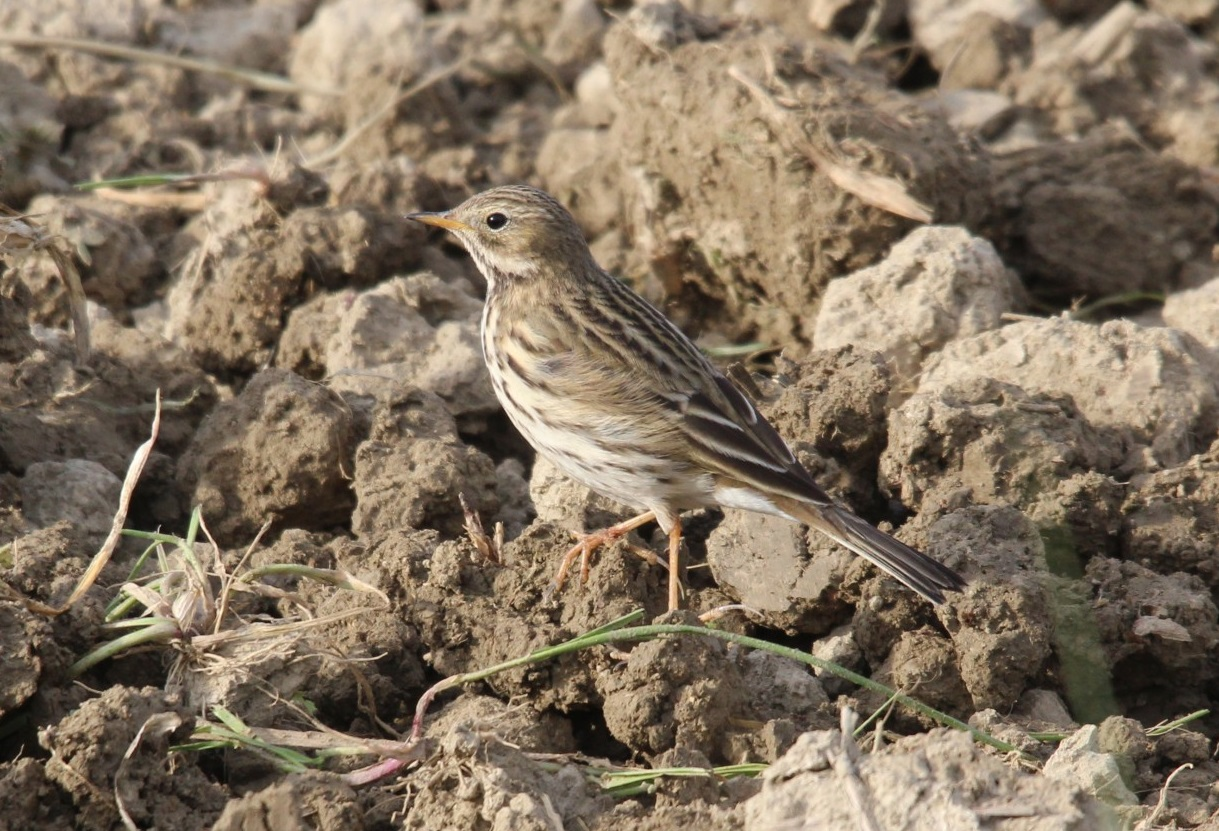 Anthus pratensis, Meadow Pipit