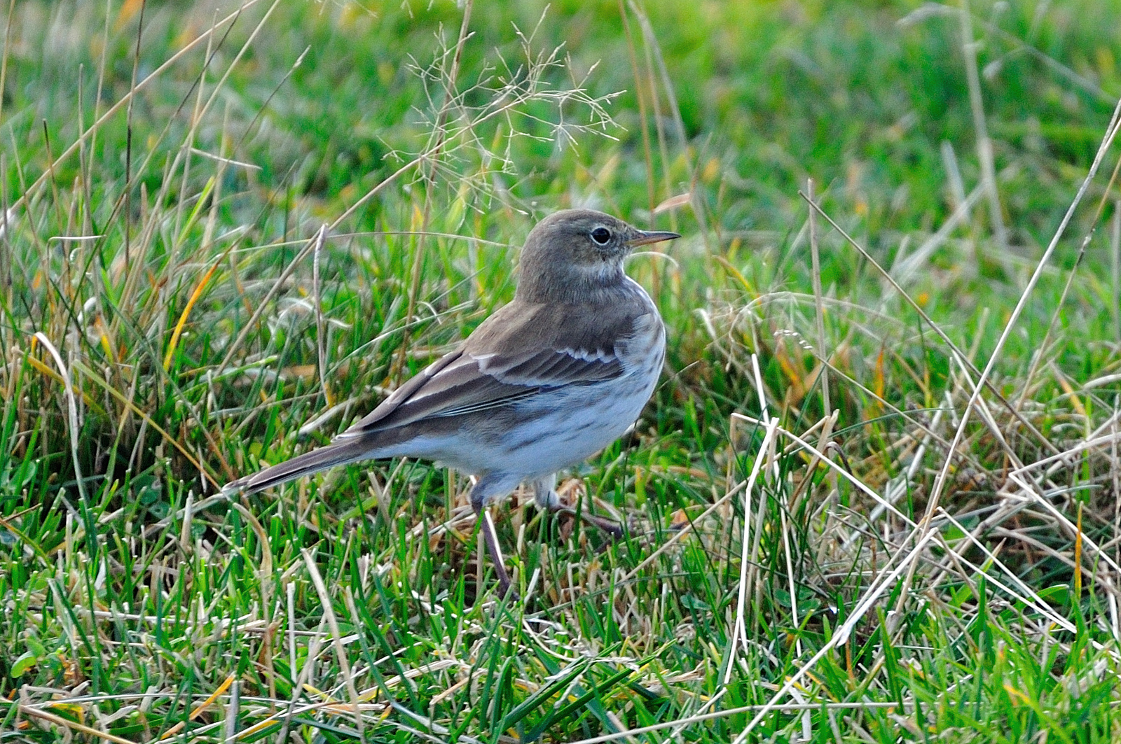 Anthus spinoletta, Water Pipit, Rock Pipit
