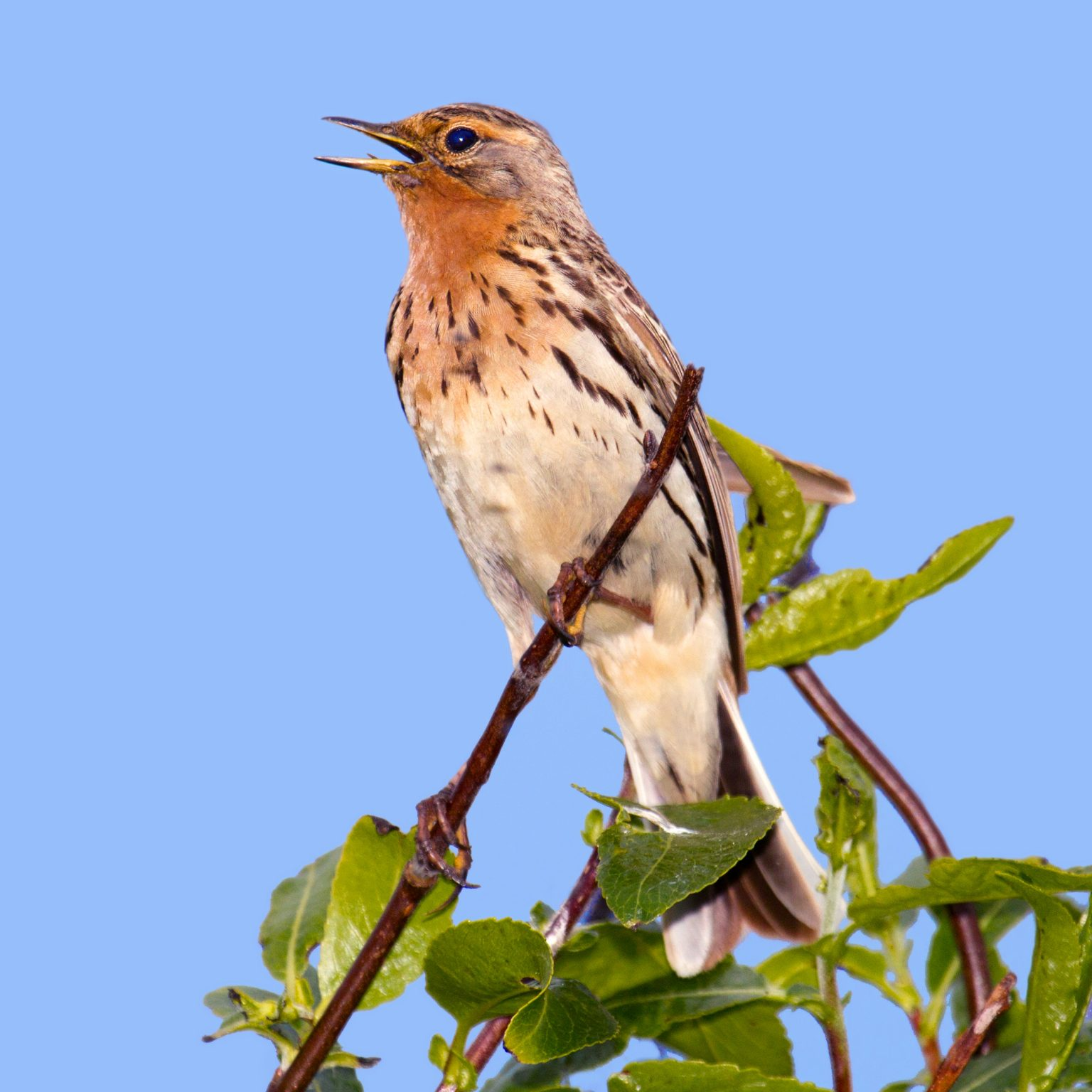 Anthus cervinus, Red-throated Pipit