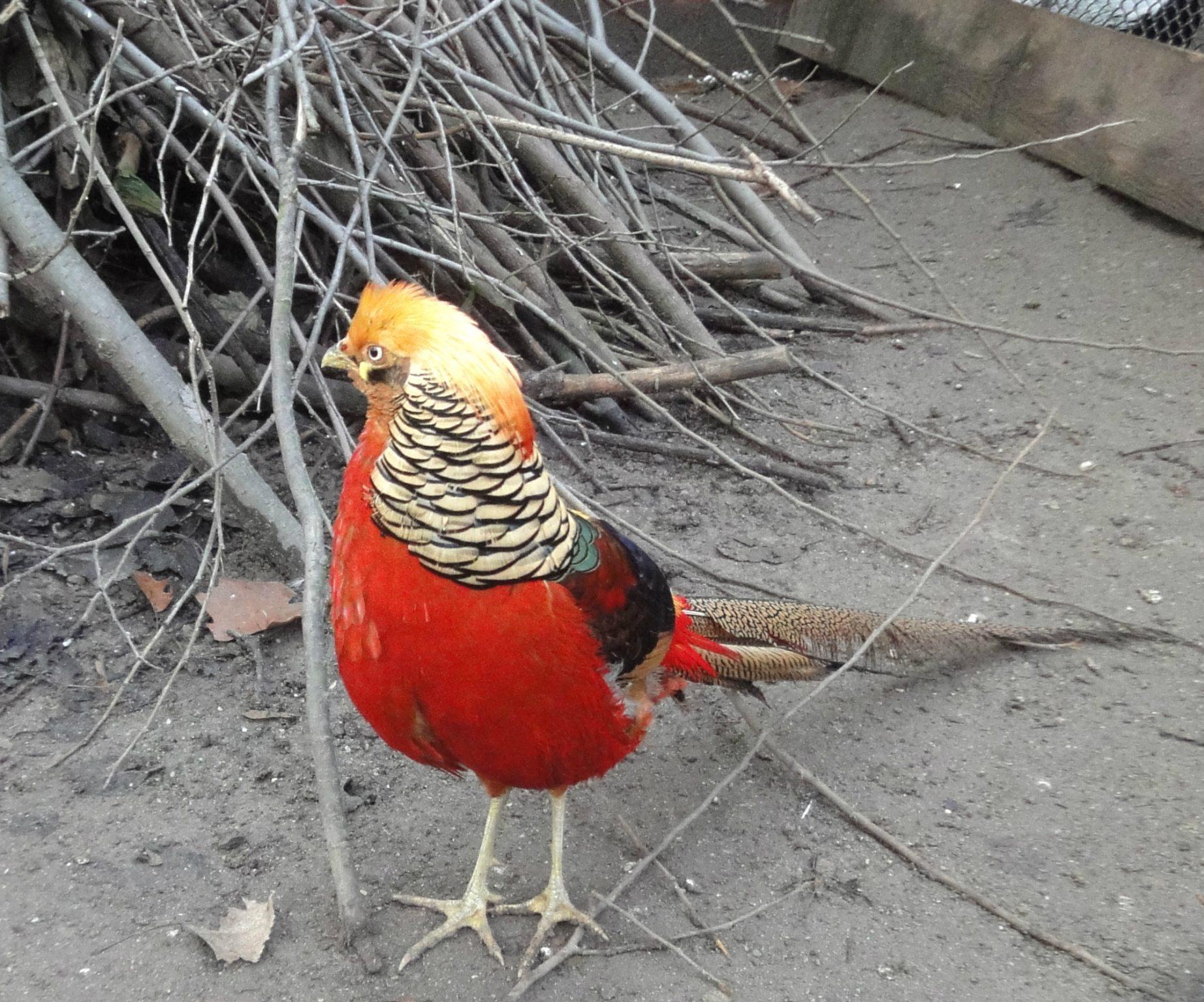 Chrysolophus pictus, Golden Pheasant mascul