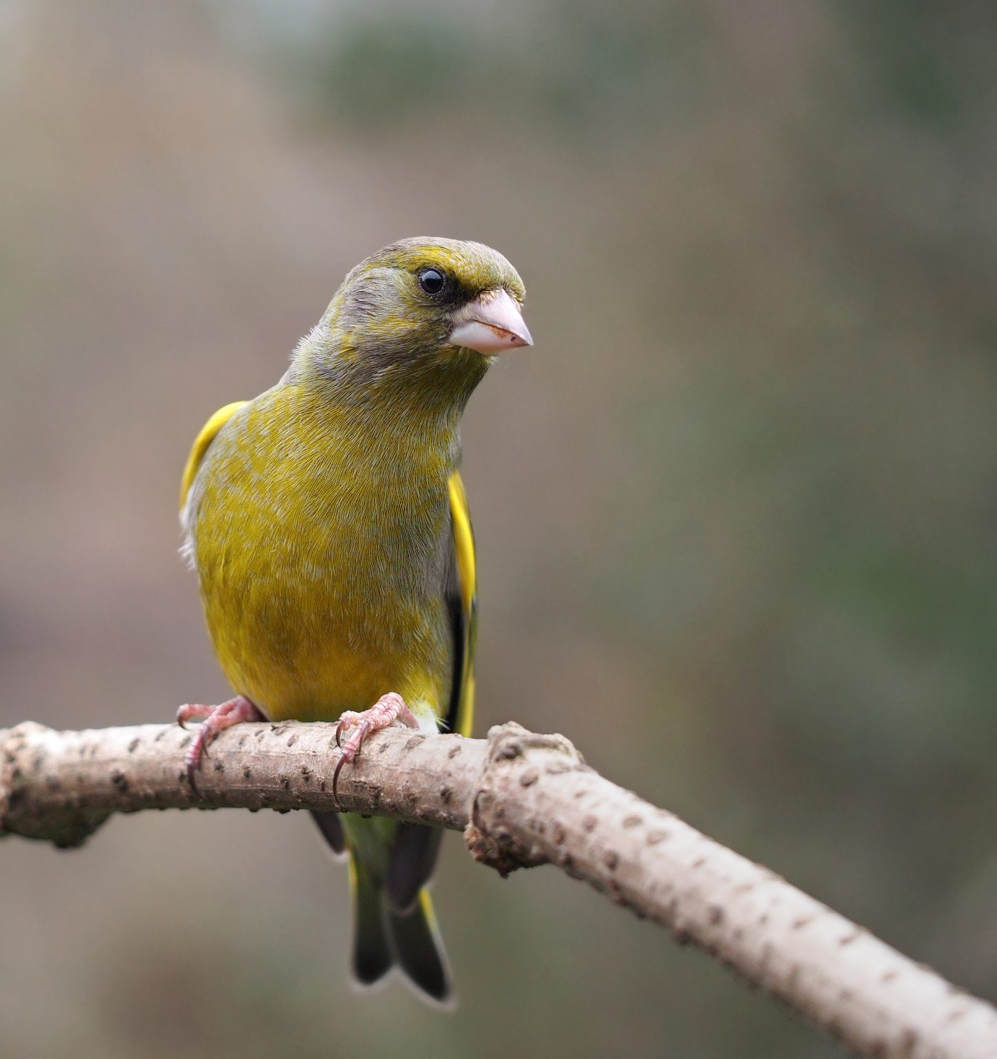 Chloris chloris mascul, European Greenfinch