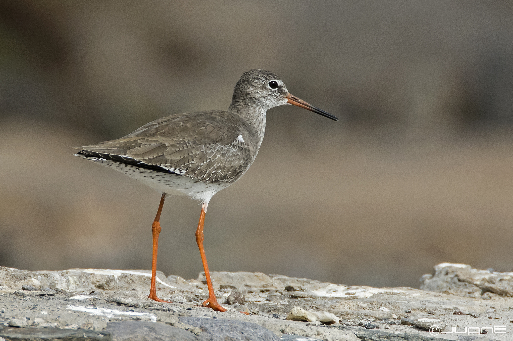 Tringa totanus, Common Redshank, Redshank
