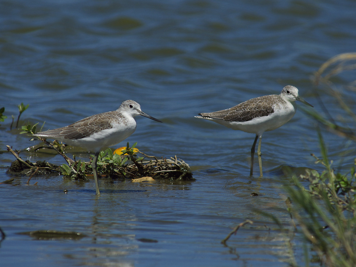 Tringa nebularia, Common Greenshank, Greenshank