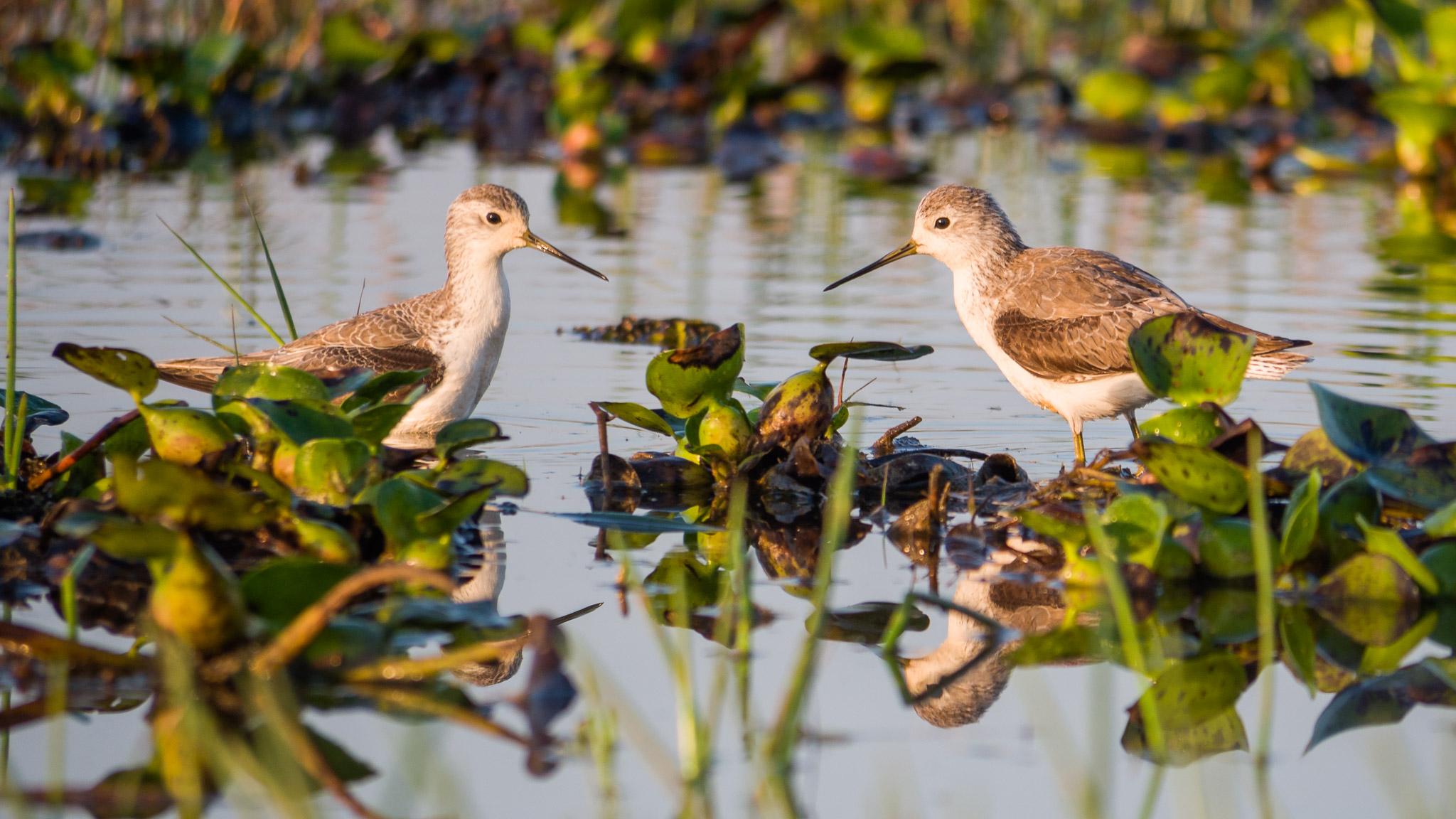 Tringa stagnatilis, Marsh Sandpiper
