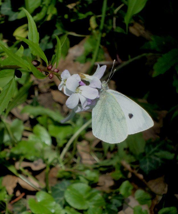 Pieris brassicae, Large White