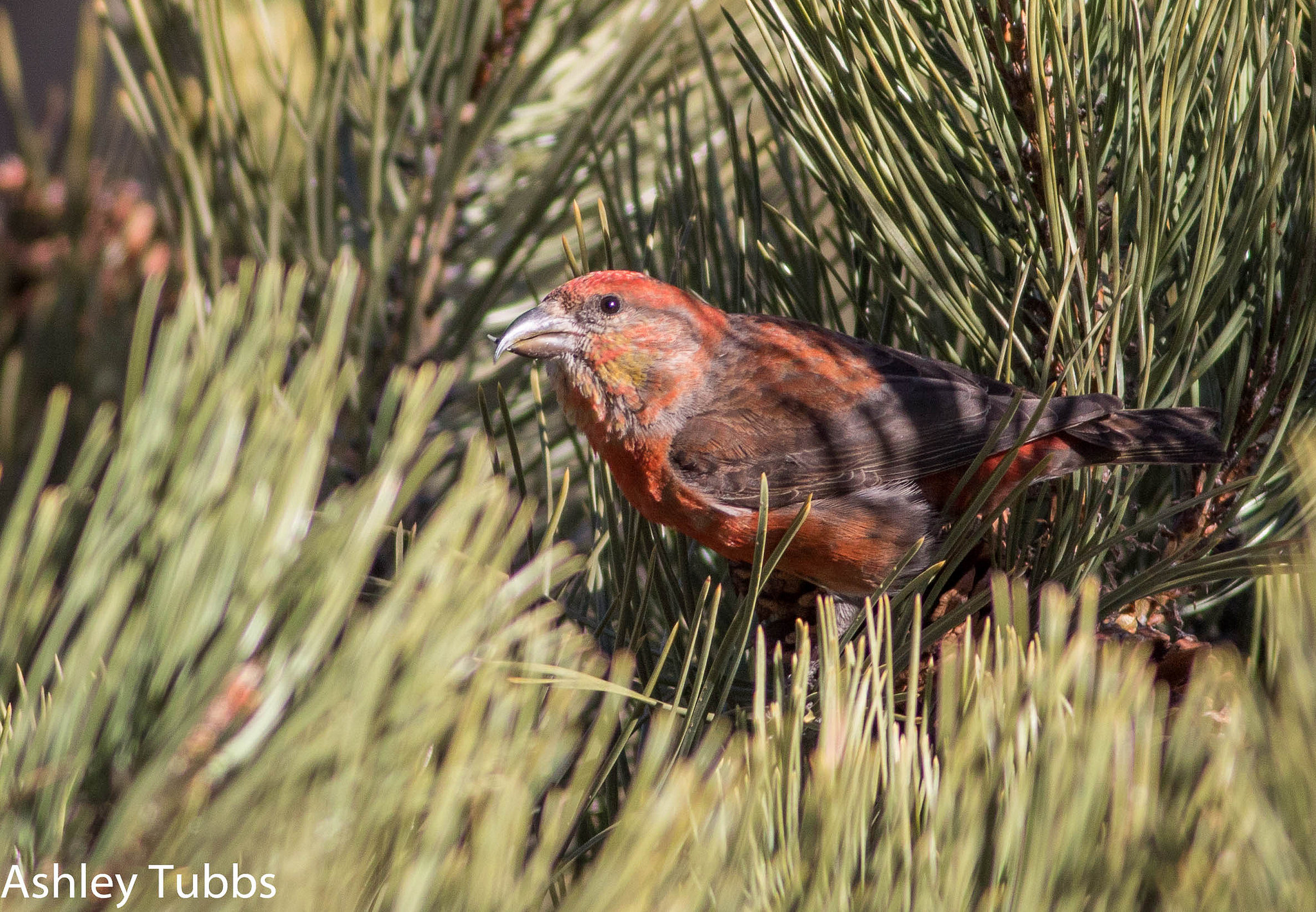 Loxia curvirostra, Red Crossbill