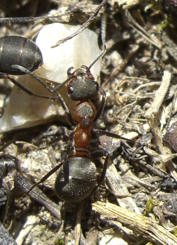 Black-backed Meadow Ant