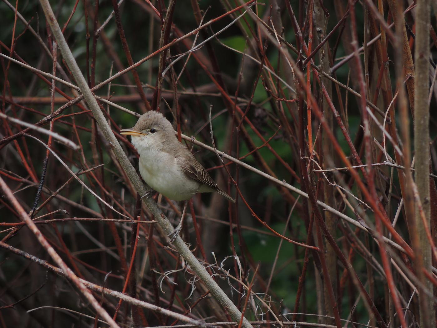 Iduna pallida, Olivaceous Warbler, Eastern Olivaceous Warbler