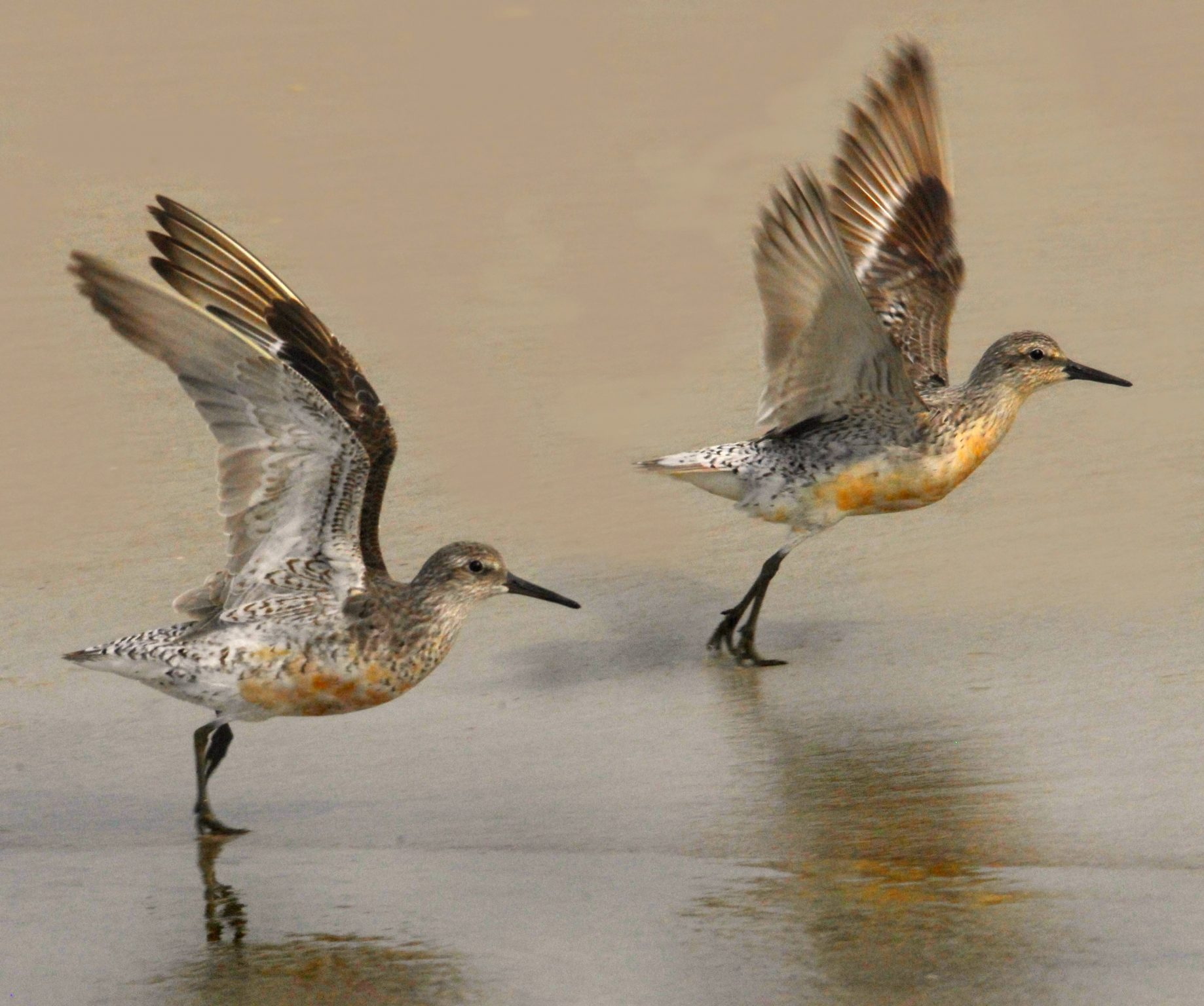 Calidris canutus, Red Knot