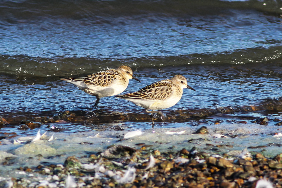 Calidris minuta, Little Stint