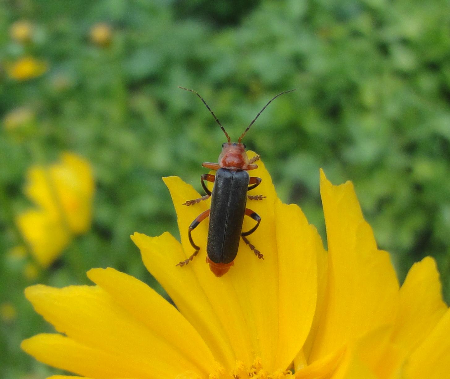 soldier beetle, gândac negru cu roşu şi un mic punct negru