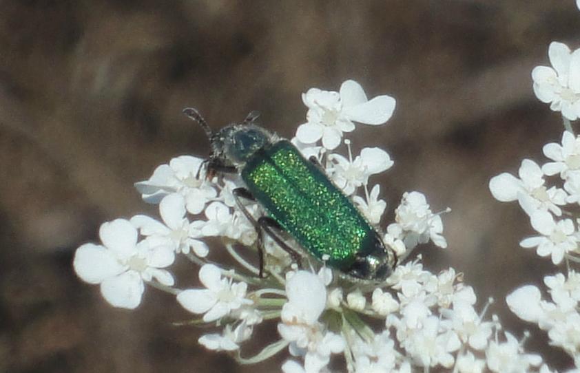 gândac verde