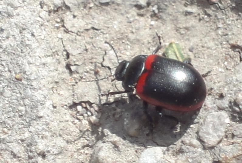 gândac negru cu roşu