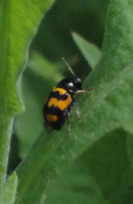 gândac portocaliu cu pete negre