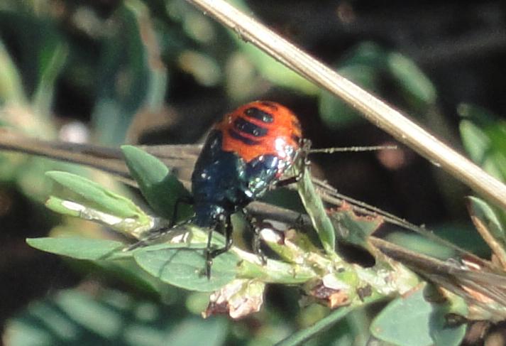 gândac roşu cu negru