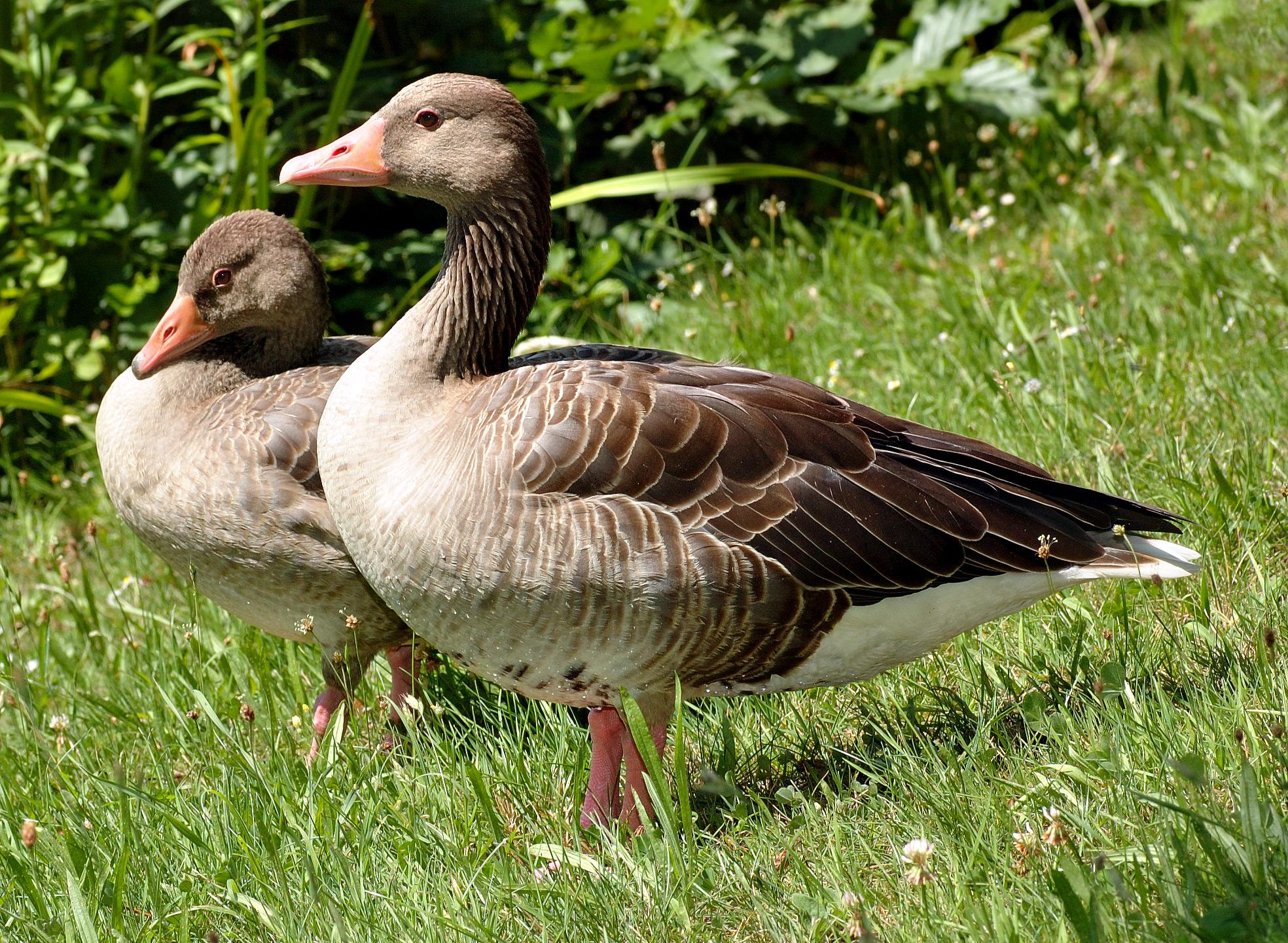 Anser anser, Greylag Goose