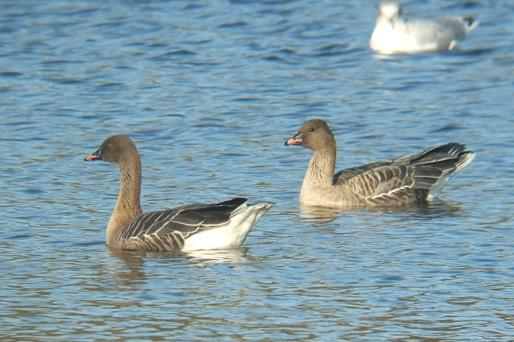 Anser brachyrhynchus, Pink-footed Goose