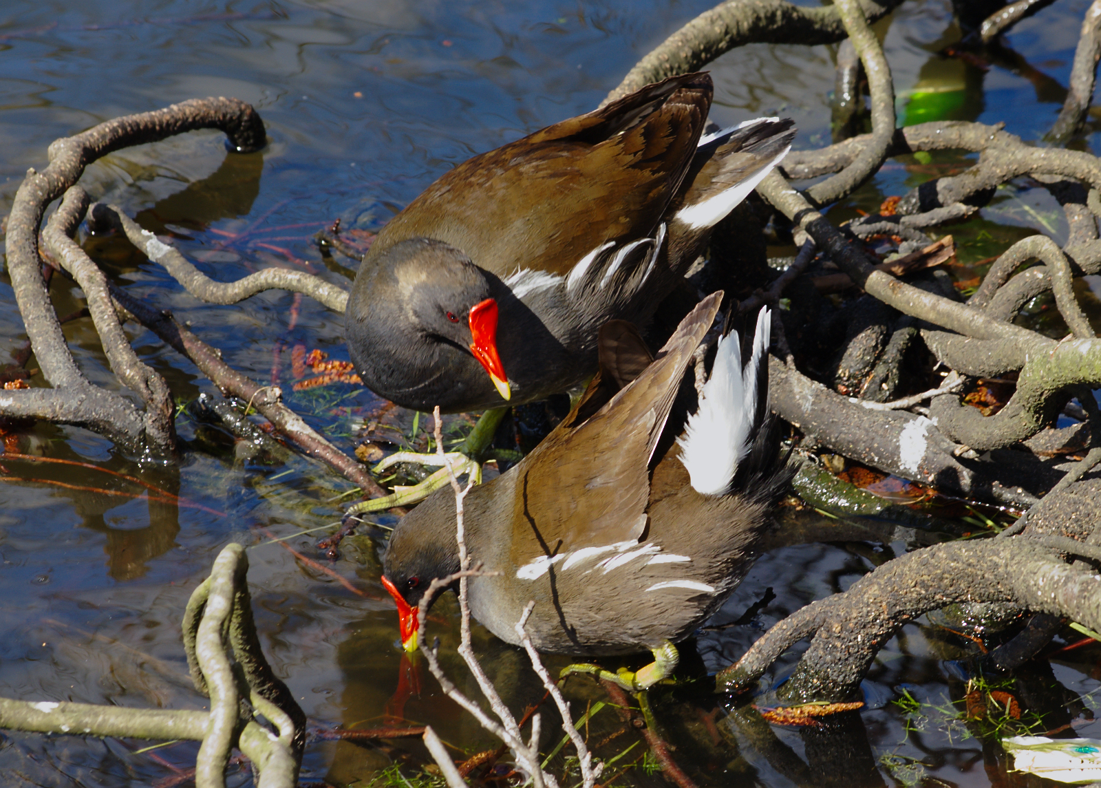 Gallinula chloropus, Common Moorhen