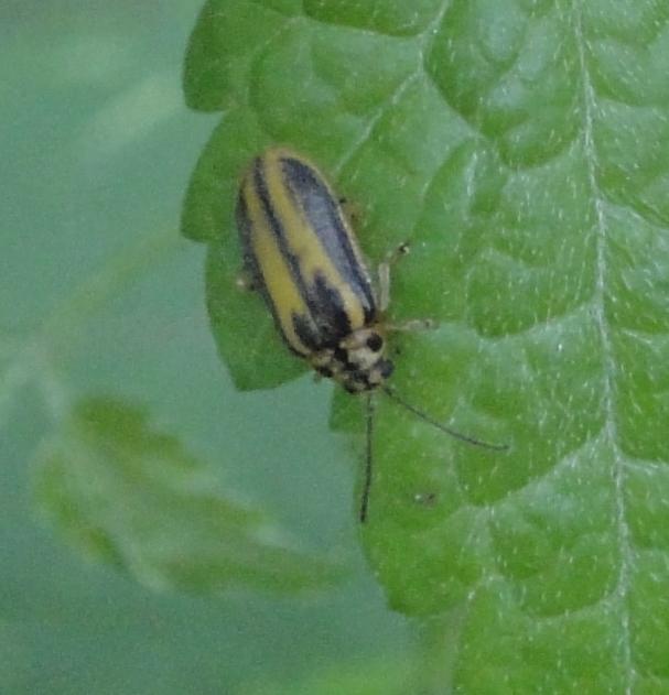 Elm Leaf-Beetle