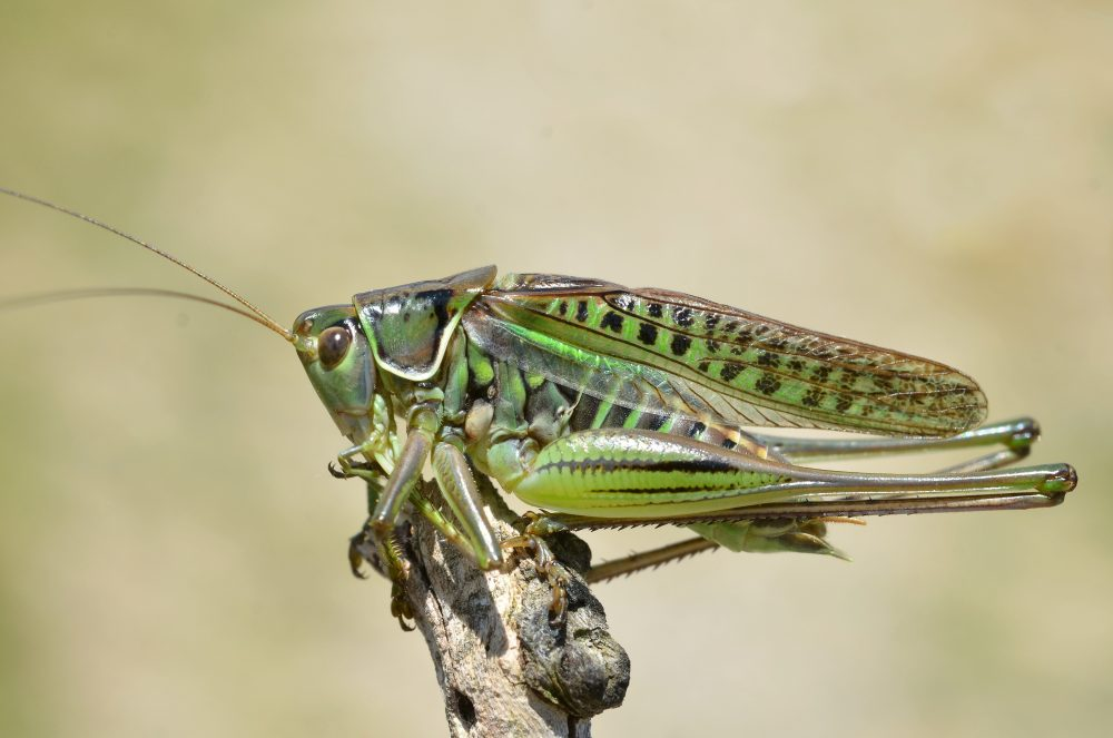 Steppe Spiny Bush-cricket