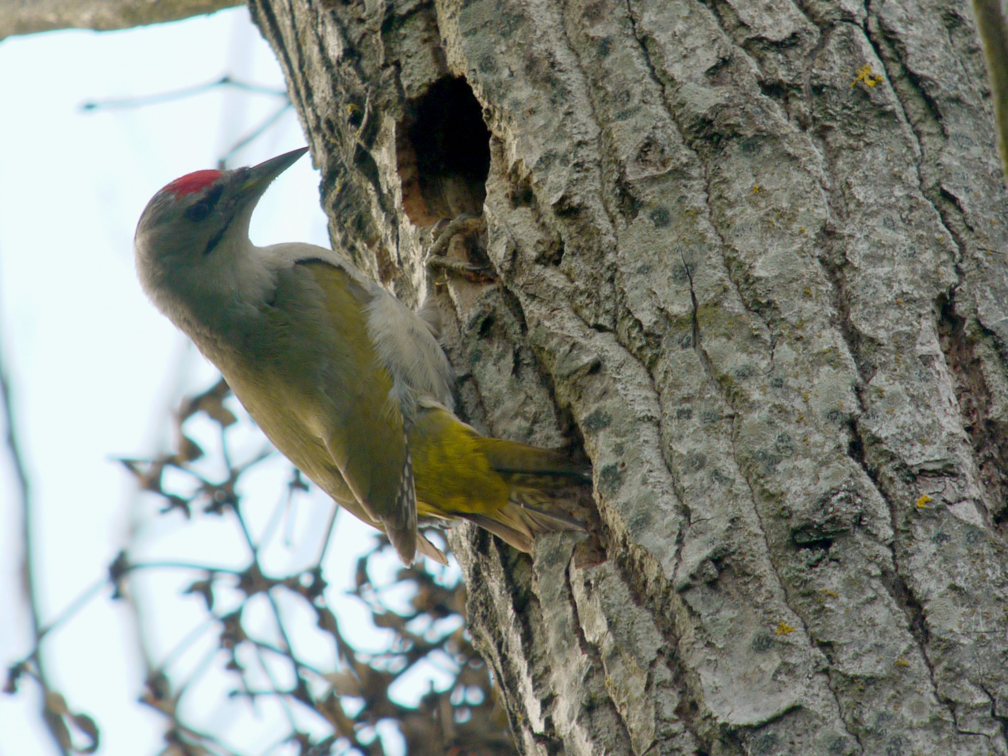 Picus canus, Grey-headed Woodpecker, Grey-faced Woodpecker