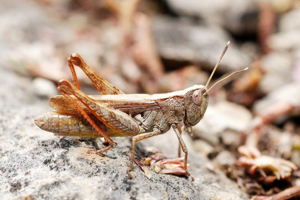 Rufous Grasshopper femelă
