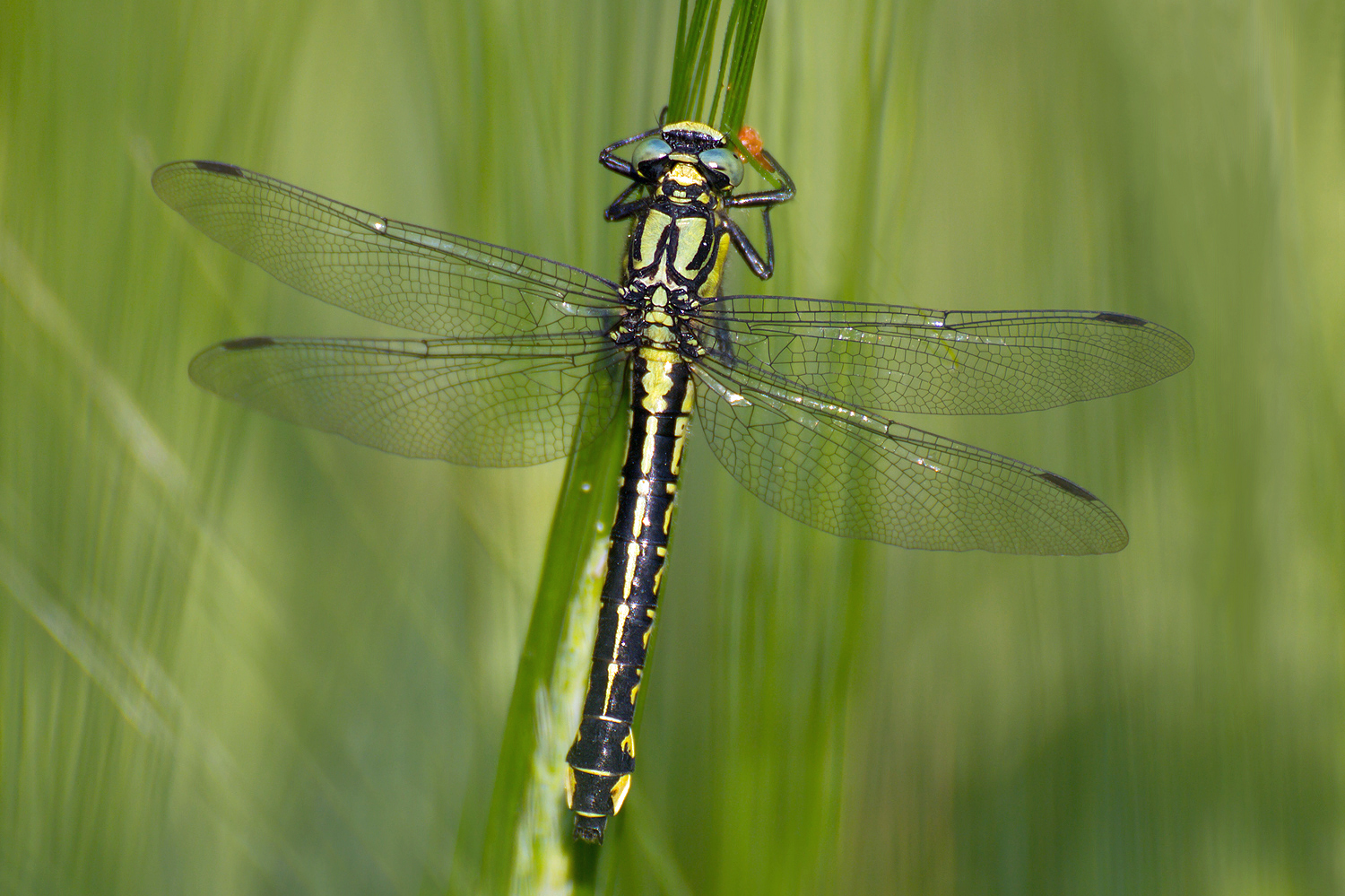 Club-tailed Dragonfly, Common Clubtail
