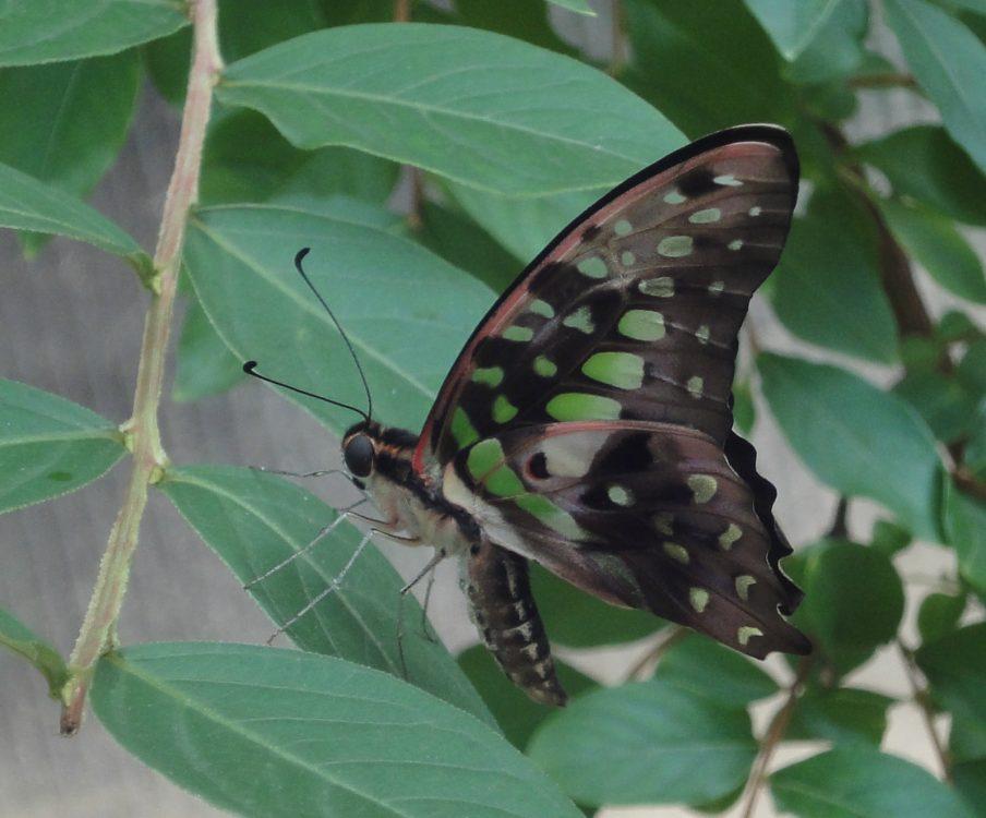Tailed Jay, Gaiţa Codată