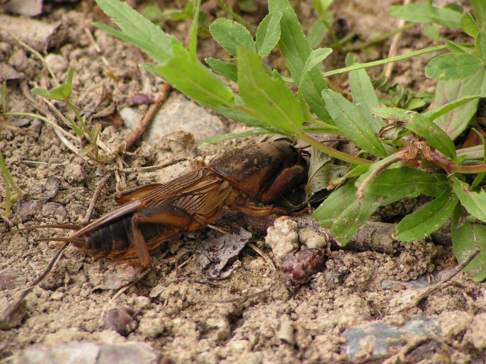 European mole cricket, Coropişniţa