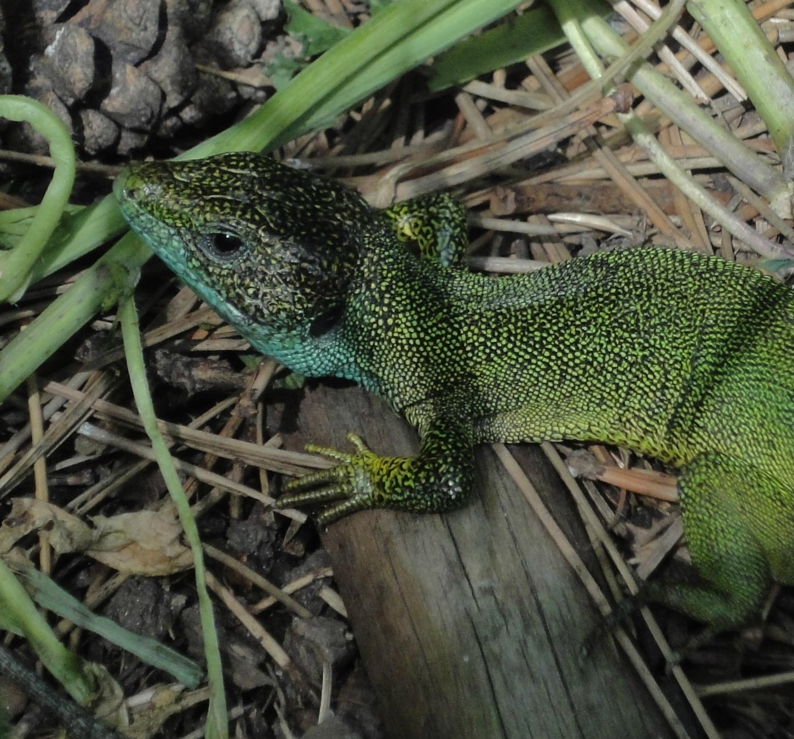 Lacerta Viridis viridis