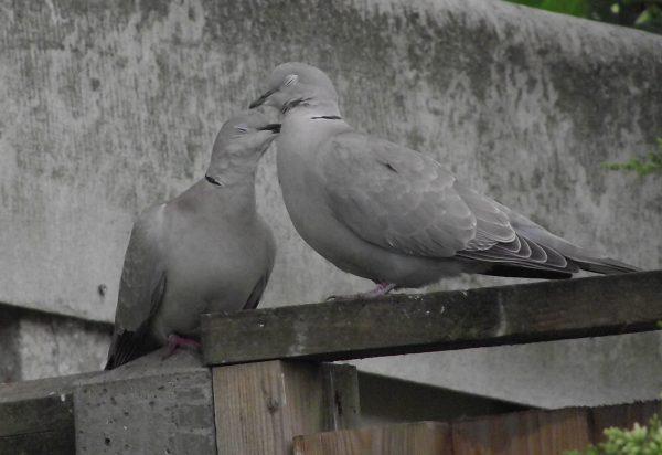Streptopelia decaocto, Eurasian Collared-dove, Collared Dove