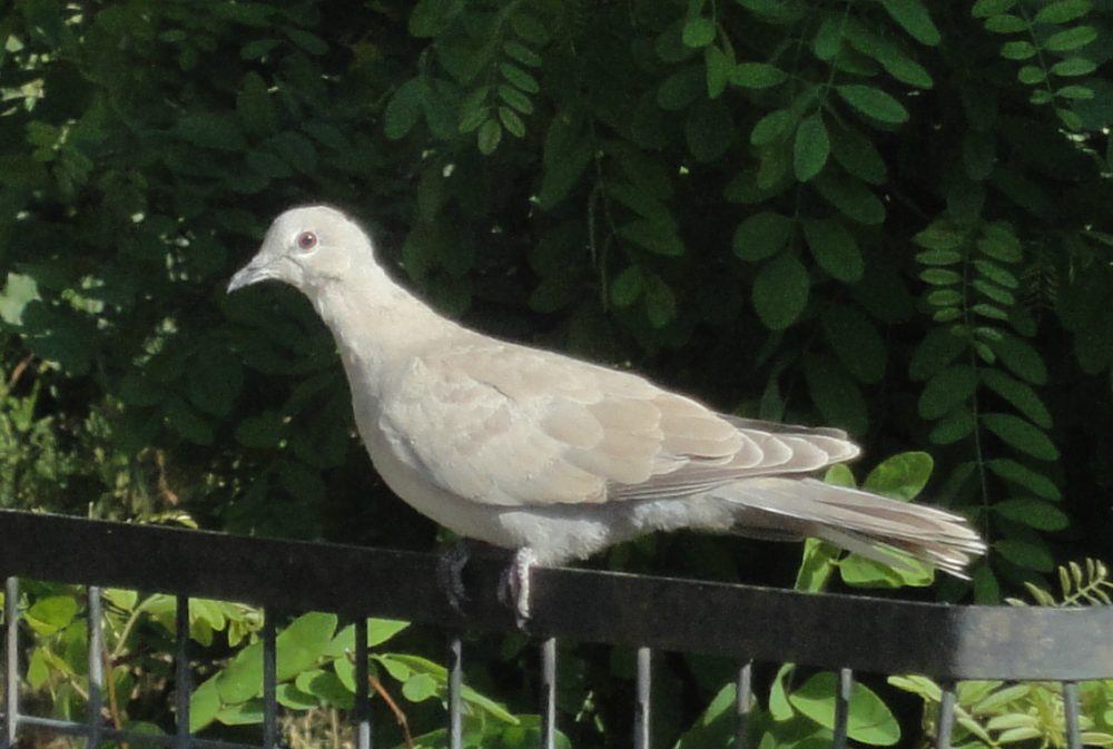 Streptopelia decaocto, Eurasian Collared-dove, Collared Dove