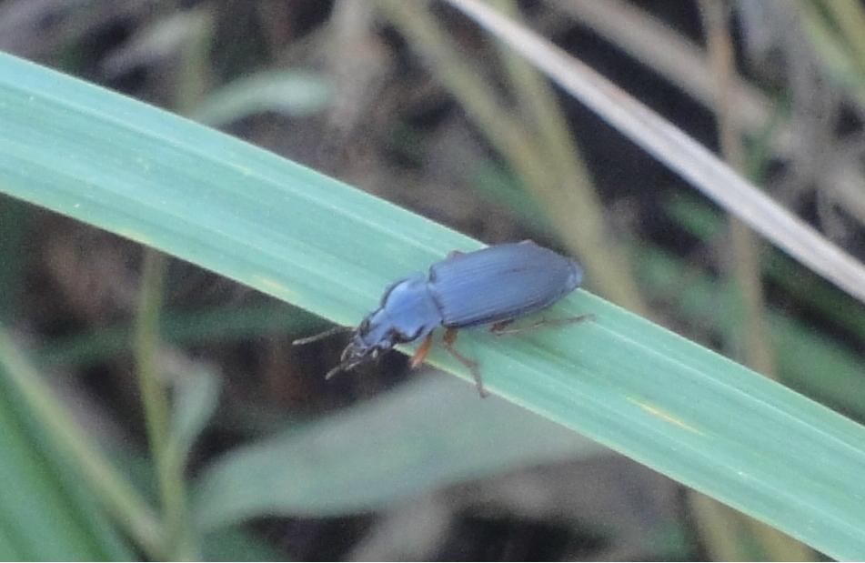 gândac albastru metalizat
